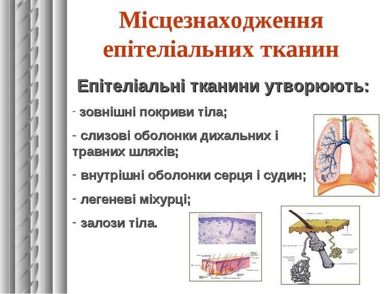 Місцезнаходження епітеліальних тканин Епітеліальні тканини утворюють: зовнішн...