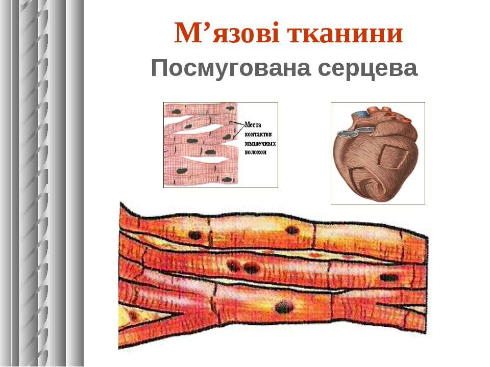 М'язові тканини Посмугована серцева
