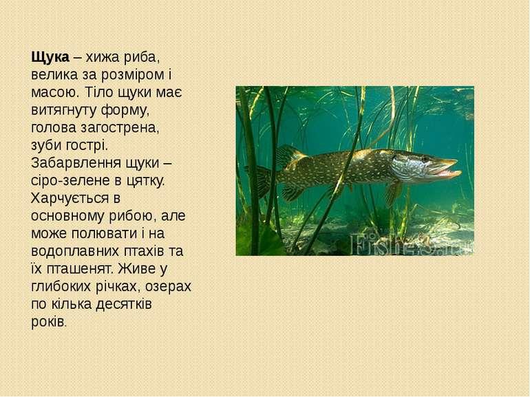 Щука – хижа риба, велика за розміром і масою. Тіло щуки має витягнуту форму, ...