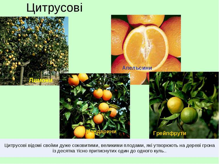 Цитрусові Лимони Грейпфрути Мандарини Апельсини Цитрусові відомі своїми дуже ...