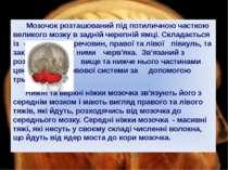Мозочок розташований під потиличною часткою великого мозку в задній черепній ...