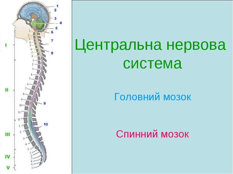 Центральна нервова система Головний мозок Спинний мозок
