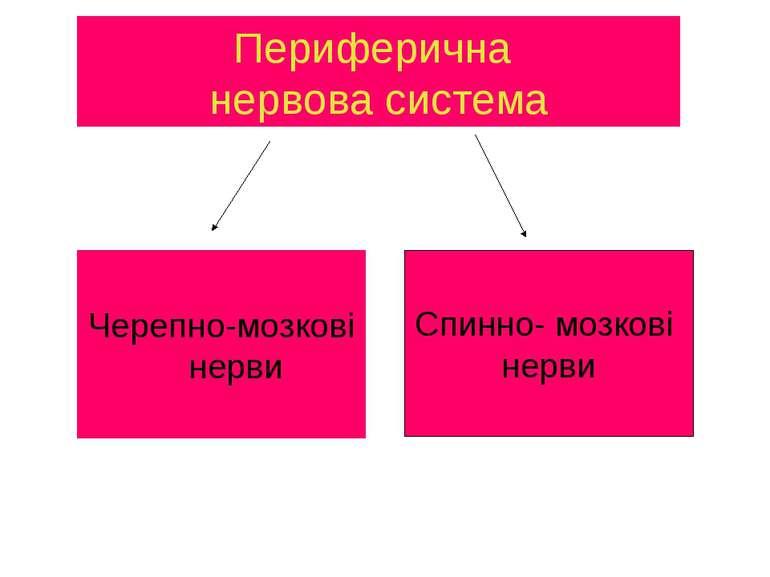 Периферична нервова система Черепно-мозкові нерви Спинно- мозкові нерви