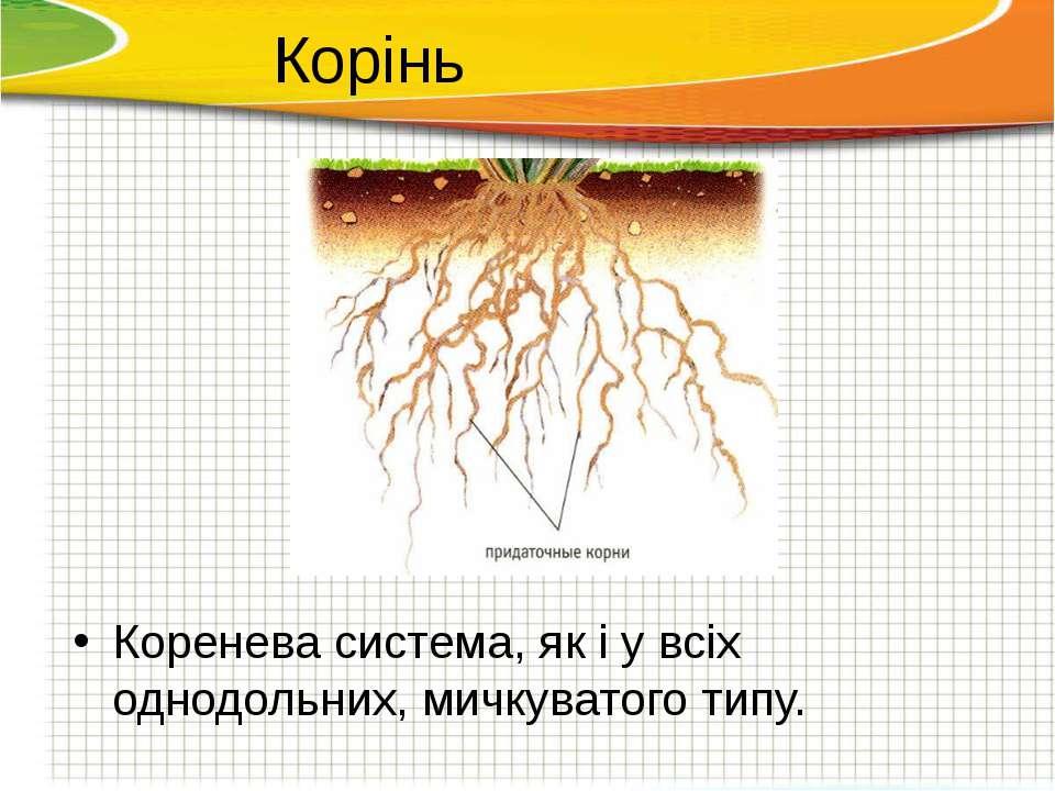 Коренева система, як і у всіх однодольних, мичкуватого типу. Корінь