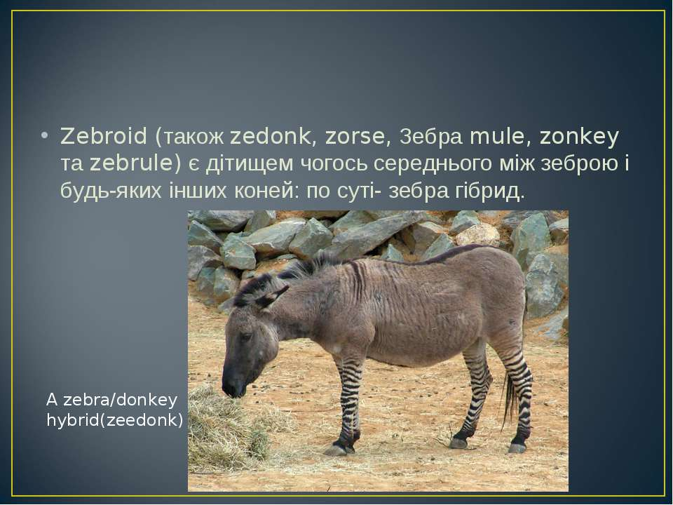 Zebroid (також zedonk, zorse, Зебра mule, zonkey та zebrule) є дітищем чогось...