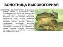 БОЛОТНИЦА ВЫСОКОГОРНАЯ БОЛОТНИЦА ВЫСОКОГОРНАЯ (Telmatobius culeus) обитает в ...