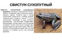 СВИСТУН СУХОПУТНЫЙ СВИСТУН СУХОПУТНЫЙ (Leptodactylus prognatus) обычный в окр...