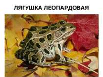 ЛЯГУШКА ЛЕОПАРДОВАЯ