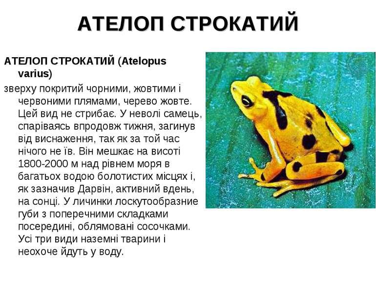 АТЕЛОП СТРОКАТИЙ АТЕЛОП СТРОКАТИЙ (Atelopus varius) зверху покритий чорними, ...