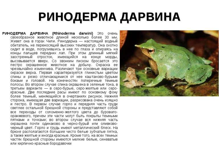 РИНОДЕРМА ДАРВИНА РИНОДЕРМА ДАРВИНА (Rhinoderma darwini) Это очень своеобразн...