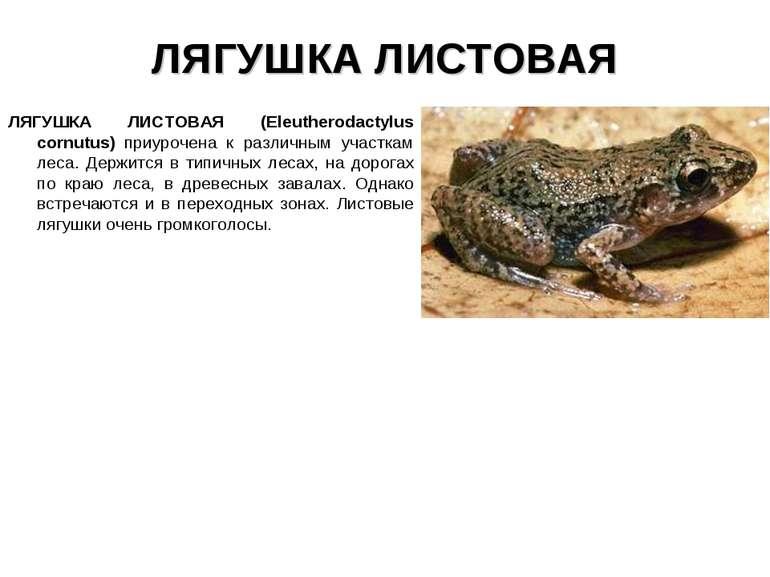 ЛЯГУШКА ЛИСТОВАЯ ЛЯГУШКА ЛИСТОВАЯ (Eleutherodactylus cornutus) приурочена к р...