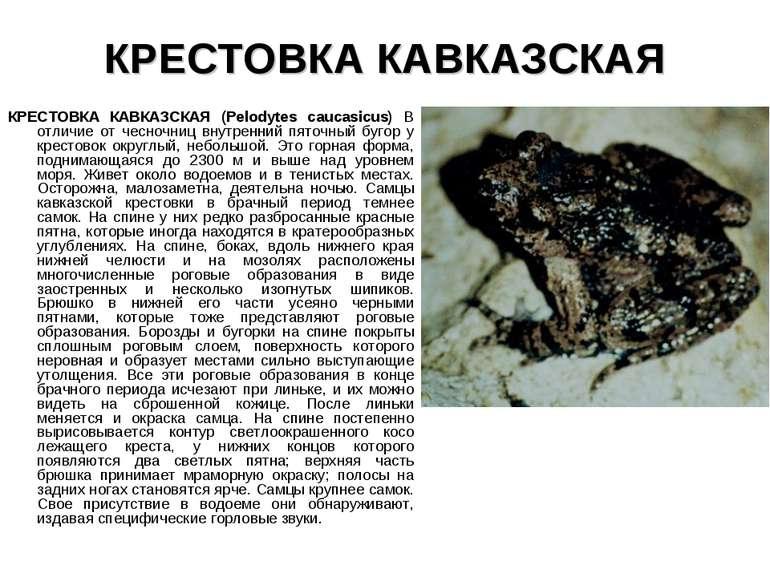 КРЕСТОВКА КАВКАЗСКАЯ КРЕСТОВКА КАВКАЗСКАЯ (Pelodytes caucasicus) В отличие от...