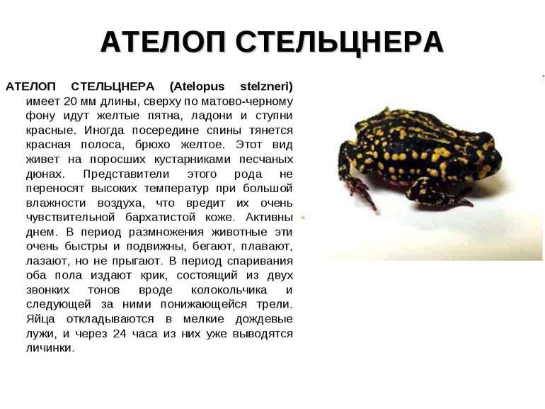 АТЕЛОП СТЕЛЬЦНЕРА АТЕЛОП СТЕЛЬЦНЕРА (Atelopus stelzneri) имеет 20 мм длины, с...