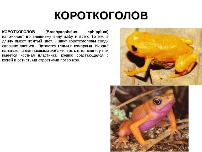 КОРОТКОГОЛОВ КОРОТКОГОЛОВ (Brachycephalus ephippium) напоминает по внешнему в...