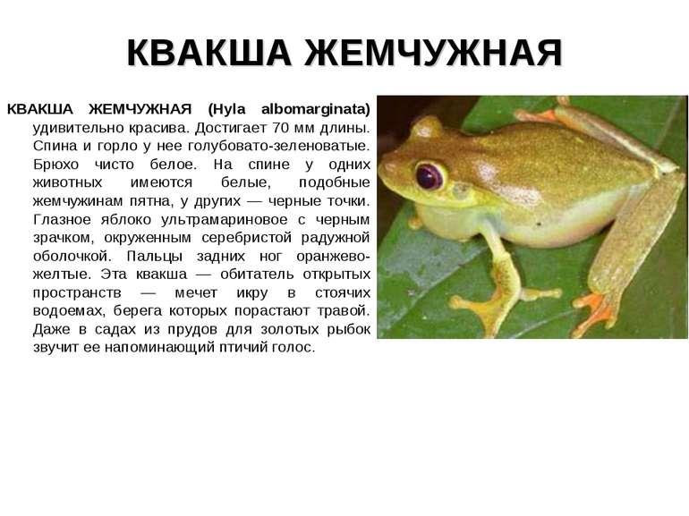 КВАКША ЖЕМЧУЖНАЯ КВАКША ЖЕМЧУЖНАЯ (Hyla albomarginata) удивительно красива. Д...