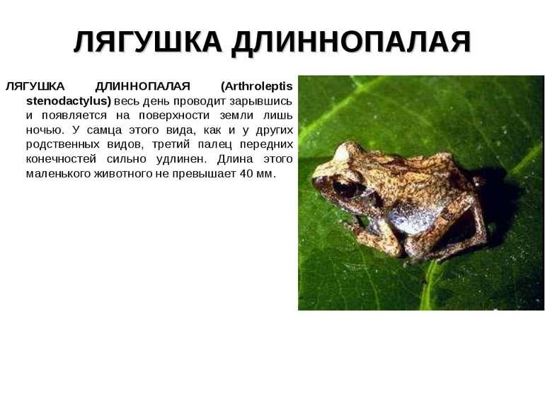 ЛЯГУШКА ДЛИННОПАЛАЯ ЛЯГУШКА ДЛИННОПАЛАЯ (Arthroleptis stenodactylus) весь ден...