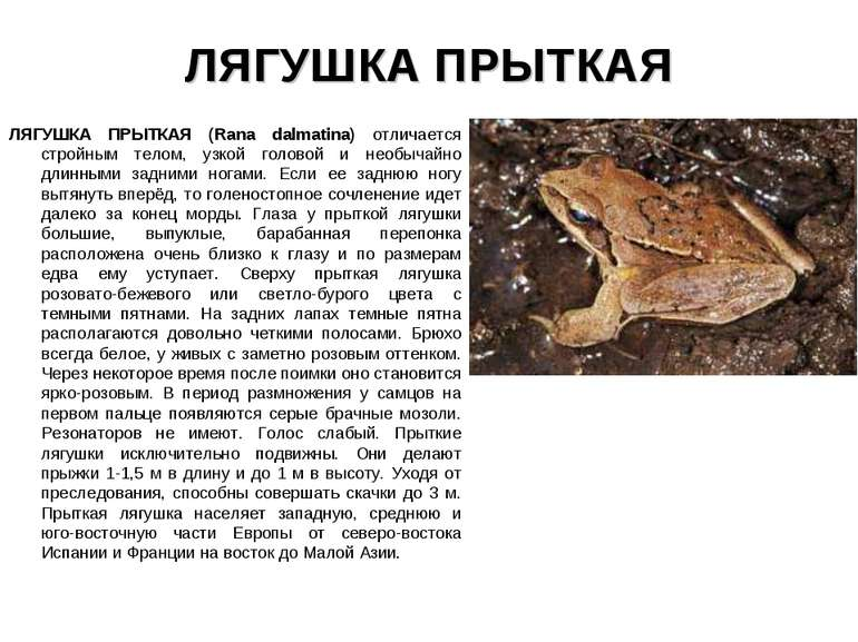 ЛЯГУШКА ПРЫТКАЯ ЛЯГУШКА ПРЫТКАЯ (Rana dalmatina) отличается стройным телом, у...