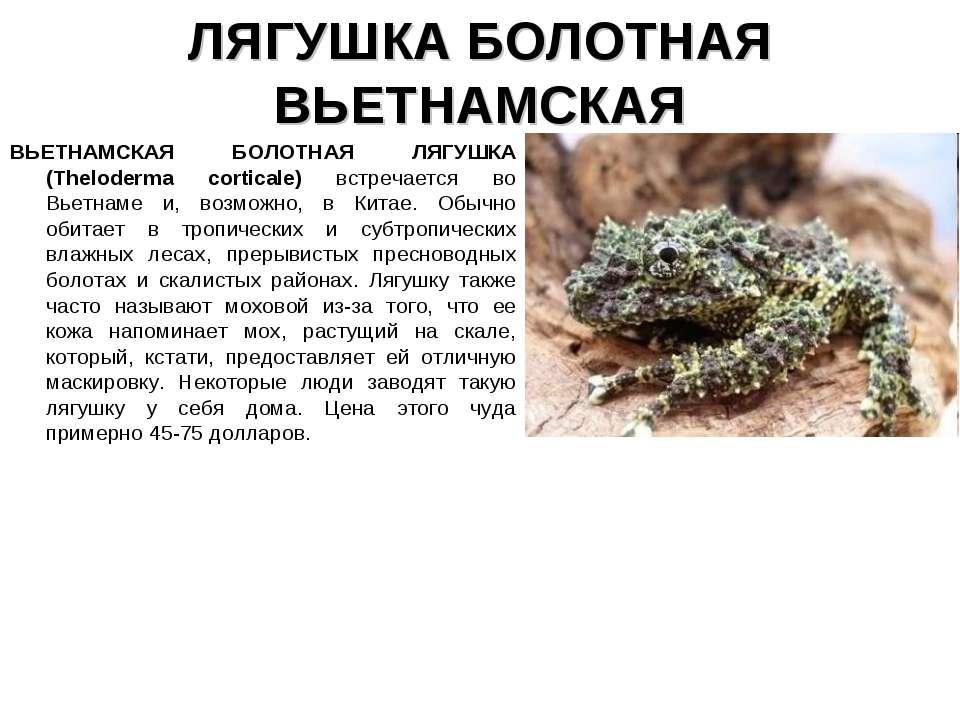 ЛЯГУШКА БОЛОТНАЯ ВЬЕТНАМСКАЯ ВЬЕТНАМСКАЯ БОЛОТНАЯ ЛЯГУШКА (Theloderma cortica...