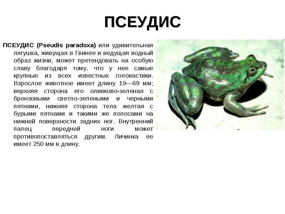 ПСЕУДИС ПСЕУДИС (Pseudis paradoxa) или удивительная лягушка, живущая в Гвинее...
