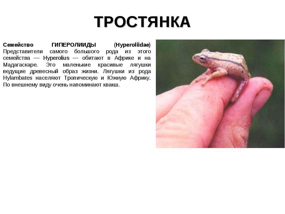 ТРОСТЯНКА Семейство ГИПЕРОЛИИДЫ (Hyperoliidae) Представители самого большого ...