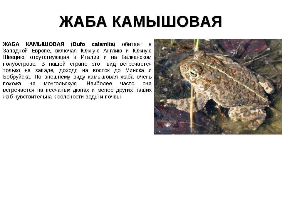 ЖАБА КАМЫШОВАЯ ЖАБА КАМЫШОВАЯ (Bufo calamita) обитает в Западной Европе, вклю...