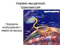 Нервно-мышечная трансмиссия Передача возбуждения с нерва на мышцу