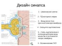 Дизайн синапса 1 - Шванновские клетки 2 - ПД моторного нерва 3 - Вход ионов С...