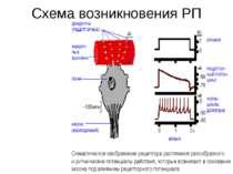 Схема возникновения РП