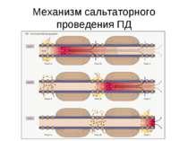 Механизм сальтаторного проведения ПД