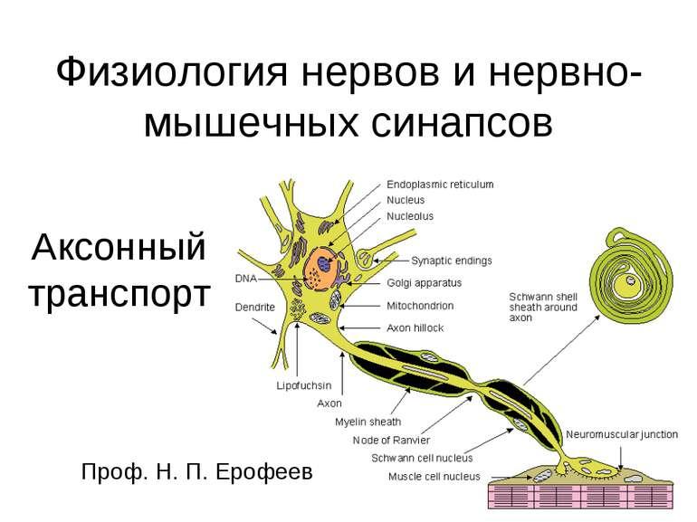 Физиология нервов и нервно-мышечных синапсов Аксонный транспорт Проф. Н. П. Е...