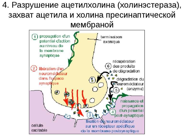 4. Разрушение ацетилхолина (холинэстераза), захват ацетила и холина пресинапт...