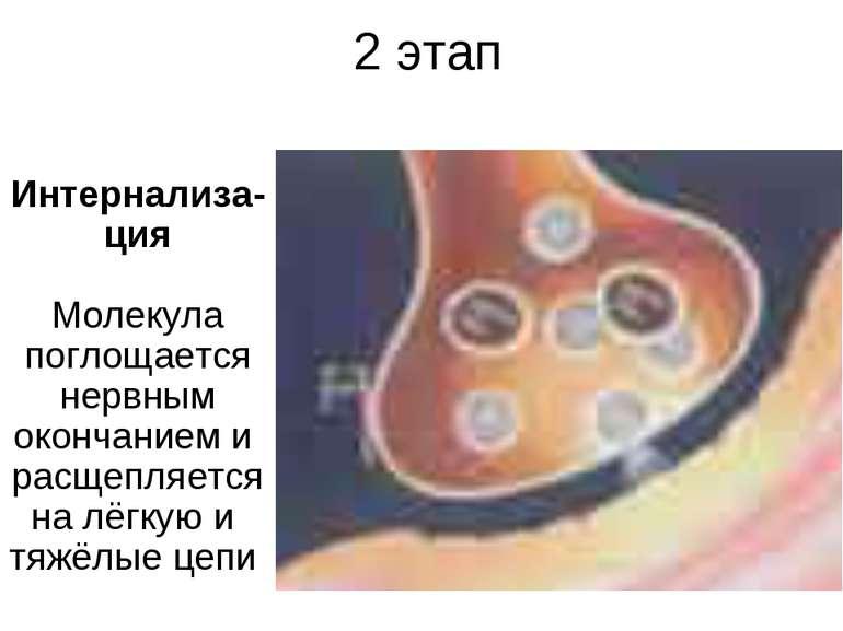 2 этап Интернализа-ция Молекула поглощается нервным окончанием и расщепляется...
