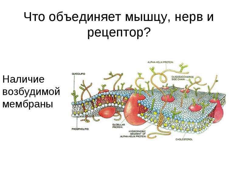 Что объединяет мышцу, нерв и рецептор? Наличие возбудимой мембраны