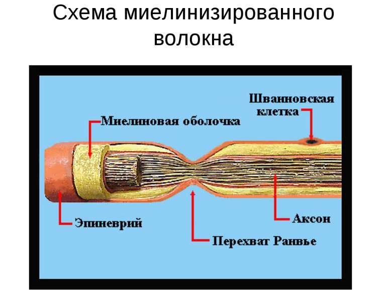 Схема миелинизированного