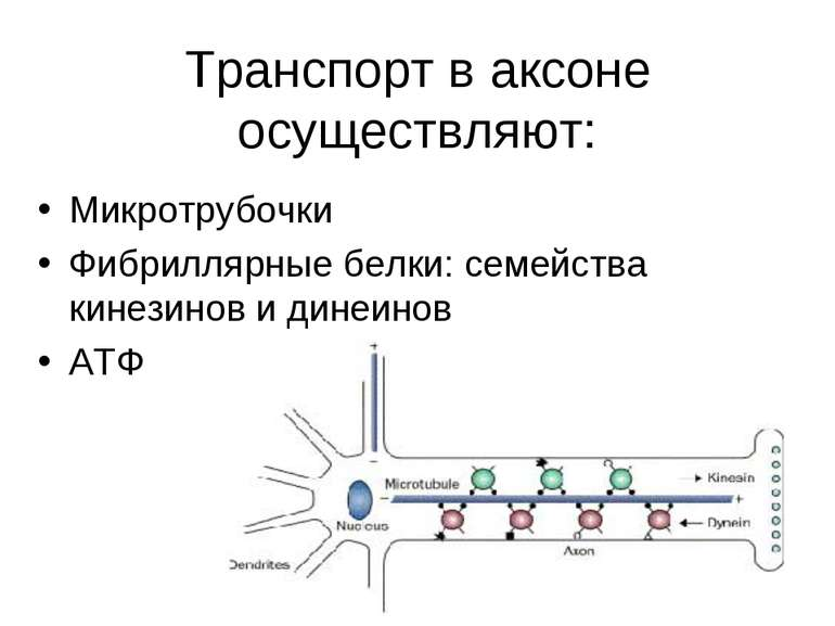 Транспорт в аксоне осуществляют: Микротрубочки Фибриллярные белки: семейства ...