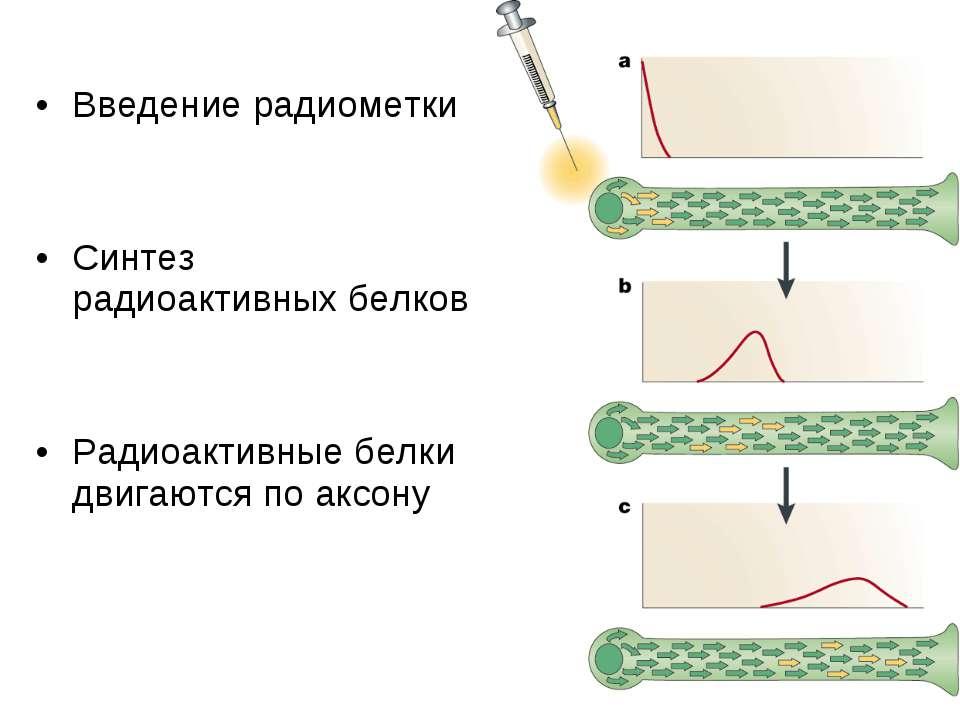 Введение радиометки Синтез радиоактивных белков Радиоактивные белки двигаются...