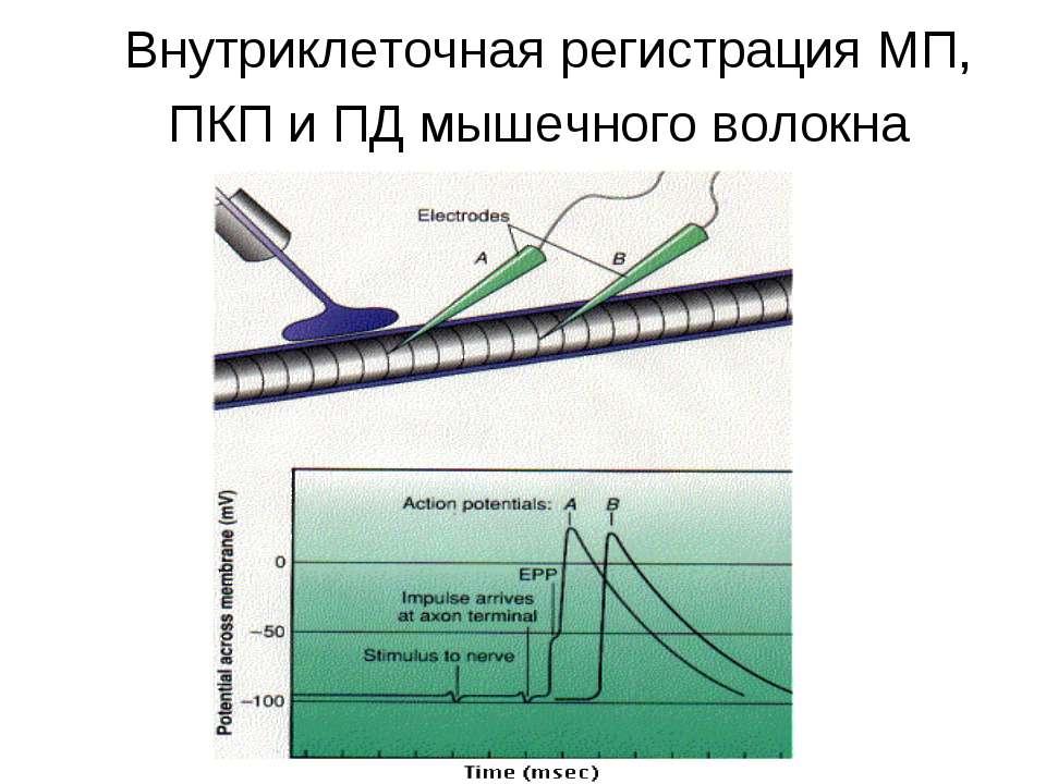 Внутриклеточная регистрация МП, ПКП и ПД мышечного волокна