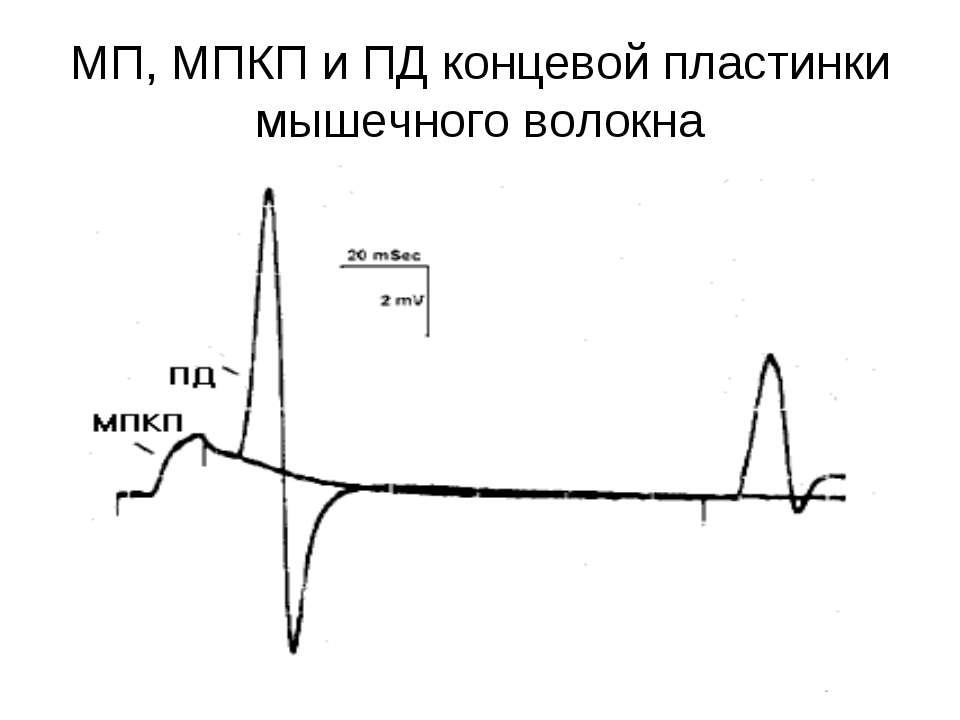 МП, МПКП и ПД концевой пластинки мышечного волокна