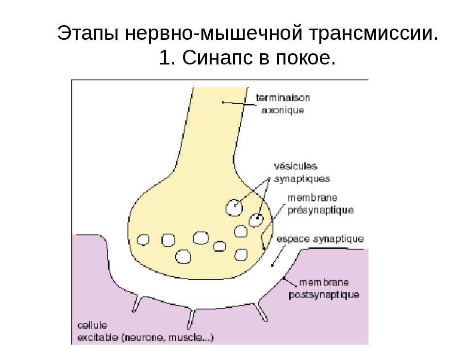 Этапы нервно-мышечной трансмиссии. 1. Синапс в покое.