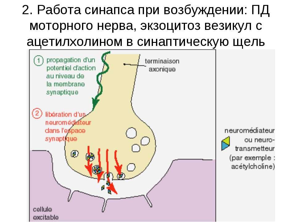 2. Работа синапса при возбуждении: ПД моторного нерва, экзоцитоз везикул с ац...