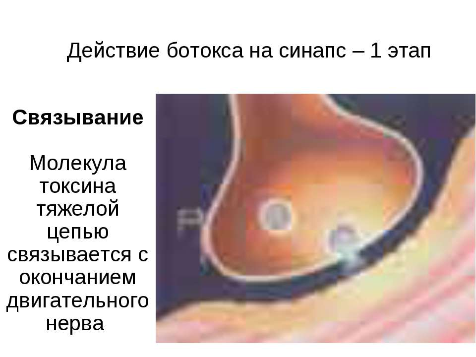 Действие ботокса на синапс – 1 этап Связывание Молекула токсина тяжелой цепью...