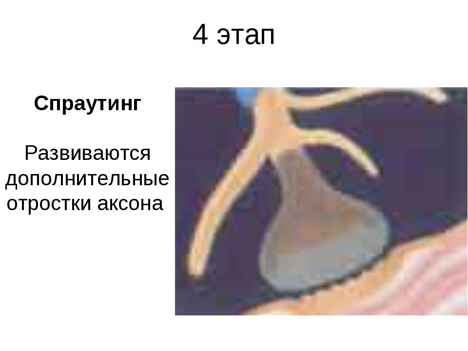 4 этап Спраутинг Развиваются дополнительные отростки аксона