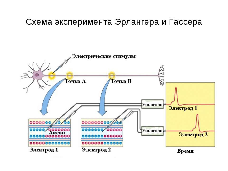 Схема эксперимента Эрлангера и Гассера