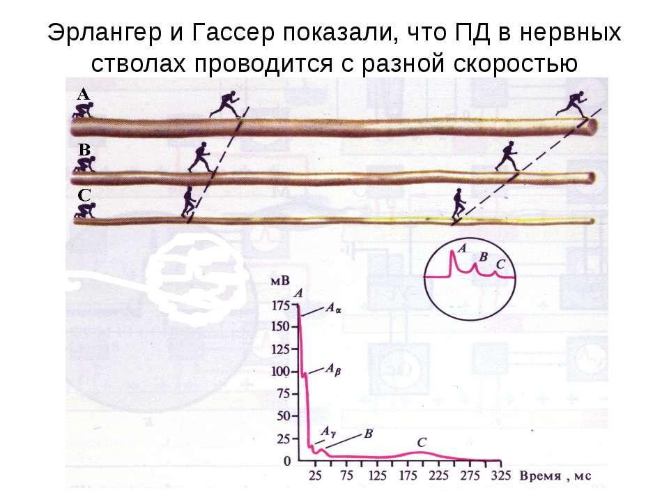 Эрлангер и Гассер показали, что ПД в нервных стволах проводится с разной скор...
