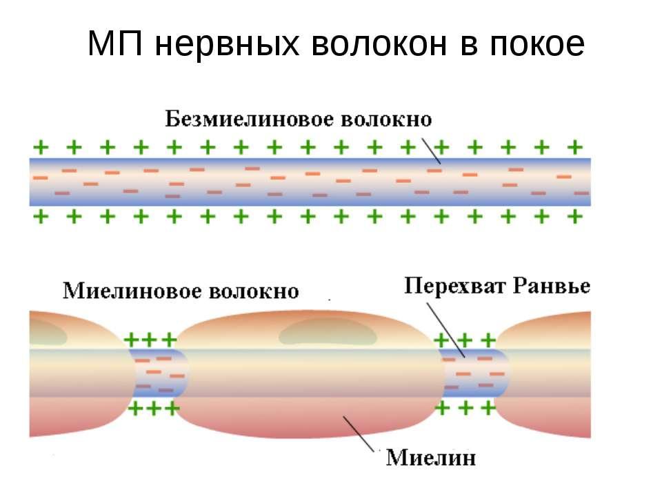 МП нервных волокон в покое