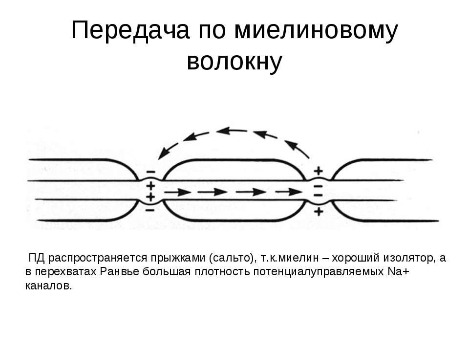 Передача по миелиновому волокну ПД распространяется прыжками (сальто), т.к.ми...