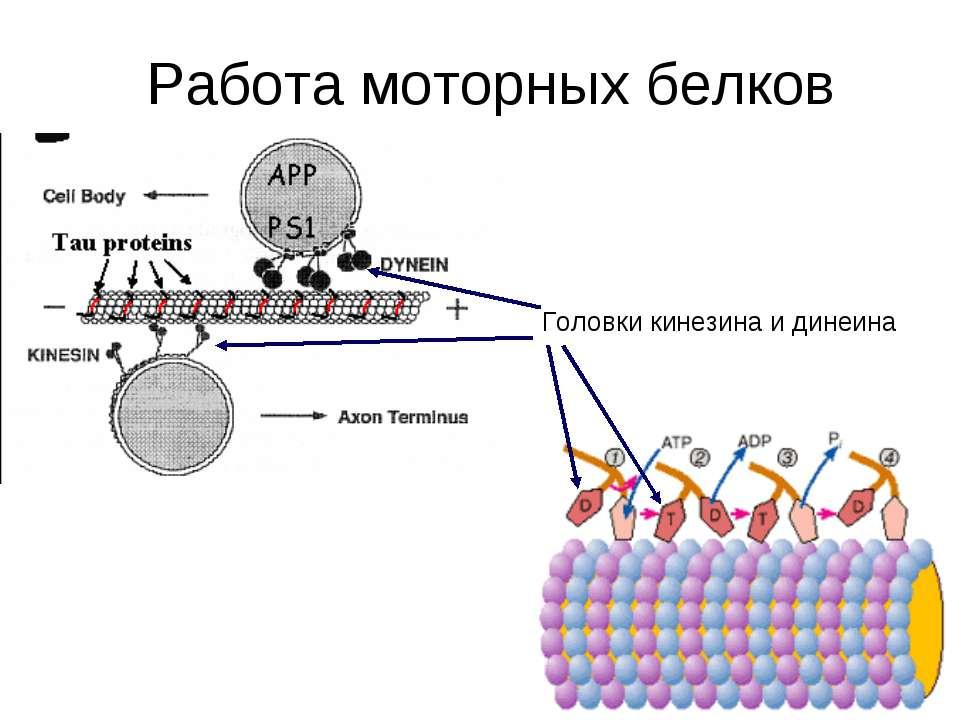 Работа моторных белков Головки кинезина и динеина
