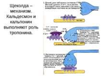 Щеколда – механизм. Кальдесмон и кальпонин выполняют роль тропонина.