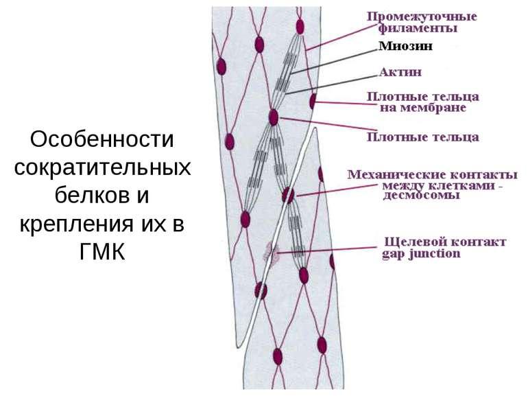 Особенности сократительных белков и крепления их в ГМК