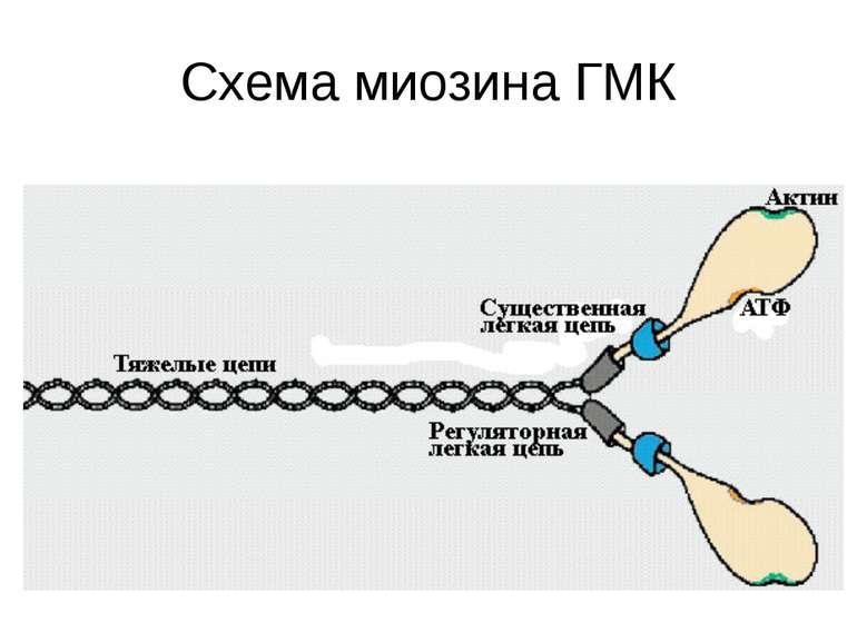 Схема миозина ГМК